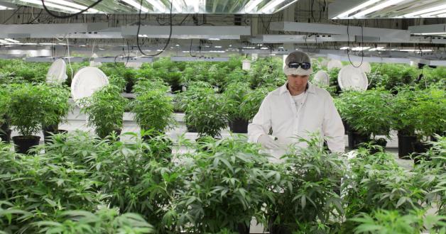 Arbeiter in einem Marihuana Gewächshaus